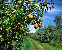 Pears with road leading through orchard in Hood River County, Oregon