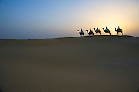 Camels and  Sandunes of Jaisalmer 100 KM from the Pakistan Border, Rajasthan India