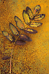 Single sprig of yellow and brown autumn leaves of Rowan or Mountain ash or Sorbus aucuparia lying on rusty metal sheet with some leaflets missing