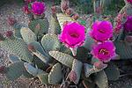 Anza-Borrego Desert State Park:  Beavertail cactus (Opuntia basilaris) blossoms