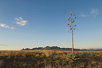 Grassland with Agave, Agave ssp., Elgin, Huachuca Mountains, Arizona, USA