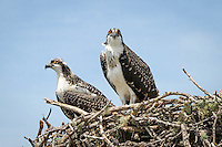 Two Osprey hanging out in Naples ... photo by Debi Pittman Wilkey