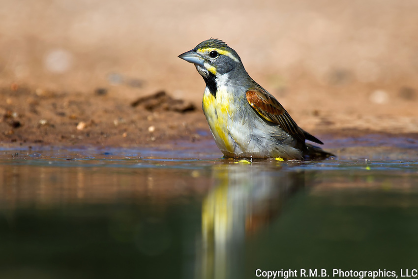 Dickcissel bathing with reflection