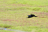 Carrion Crow (Corvus corone corone) In flight over Saltmarsh, Pilling, Morecambe Bay. The high Spring tide flooded the saltmarsh and left debris in the strandline, and creatures retuning to their habitats having being flushed by the salt water.