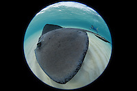 TR4934-D. Southern Stingray (Dasyatis americana) swimming over shallow sandy bottom at world famous Stingray City, while woman (model released) with underwater camera takes a picture. These rays grow to 6 feet wide, females are larger than males. They feed on fish, crabs, clams, shrimp, and worms. Grand Cayman, Cayman Islands, Caribbean Sea.<br /> Photo Copyright &copy; Brandon Cole. All rights reserved worldwide.  www.brandoncole.com