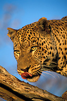 Leopard.Panthera pardus..Namabia, Africa.