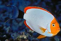 masked angelfish, Genicanthus personatus, male, Midway, Northwest Hawaiian Islands, Papahanaumokuakea Marine National Monument, Hawaii, Pacific Ocean