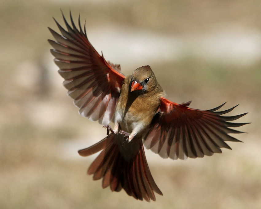 Bird lovers get a good sense of the warm, red-tinged brown of females in flight, as seen here in this landing flight pose..