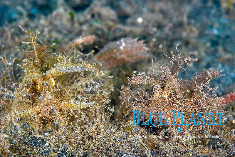 Ambon scorpionfish pair (pteroidichthys amboinensis) on the volcanic sandy bottom, Paradise pier, North Sulawesi, Celebes sea, Pacific Ocean, Sulawesi, Indonesia, Asia