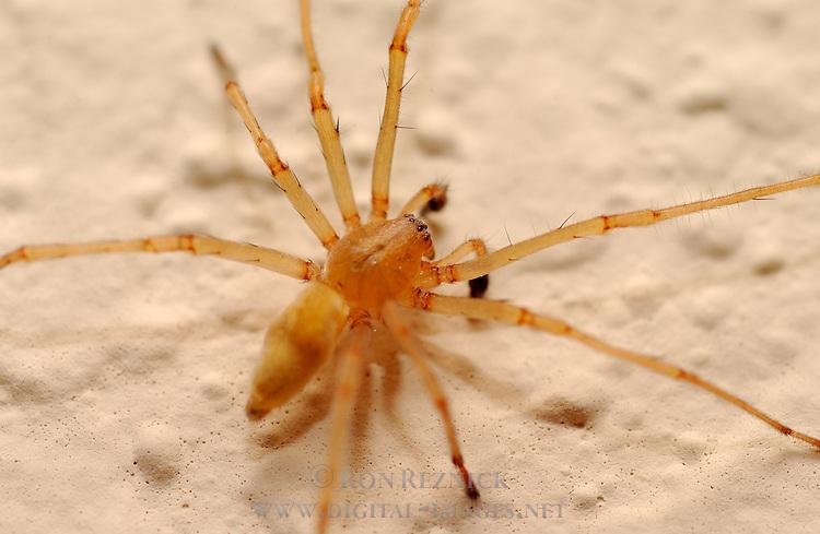 Longlegged Sac Spider, Yellow Sac Spider, Southern California