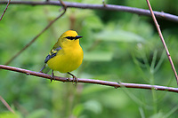 Blue-winged Warbler (Vermivora cyanoptera), male in breeding plumage on it's breeding territory in Rockefeller State Park Preserve, Pleasantville, New York.