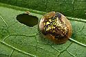 Tortoise beetle {Chrysomelidae} on leaf in tropical rainforest. Andasibe-Mantadia NP, Eastern Madagascar.