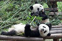 Active panda bear babies at the Panda Research Center in Chengdu, China.
