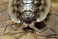 1Y16-028c  Sow Bug - head and eyes - Oniscus spp.