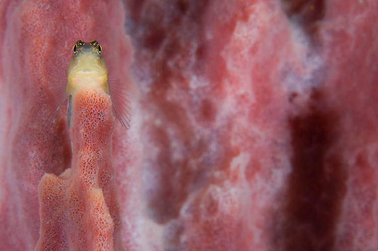 Striped blenny (Ecsenius prooculis) on a pink sponge, Volcano Crater, Witu Islands, Kimbe Bay
