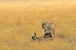 Lioness With Dead Wildebeest
