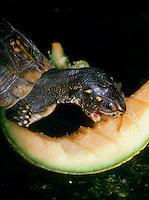 Box turtle eating cantelope in garden, Missouri USA