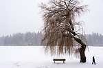 Large expressive weeping willow tree in snow with park bench and man walking by.