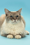 Ragdoll Cat - sitting showing mittens - white paws