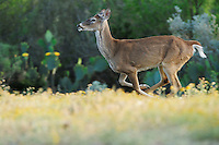 White-tailed Deer (Odocoileus virginianus), buck running, Laredo, Webb County, South Texas, USA