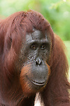 Bornean Orangutan (Pongo pygmaeus wurmbii) - mother named Tut-Tut.