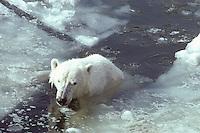 IJsbeer (Thalarctos maritimus), zwemmend tussen het zee ijs