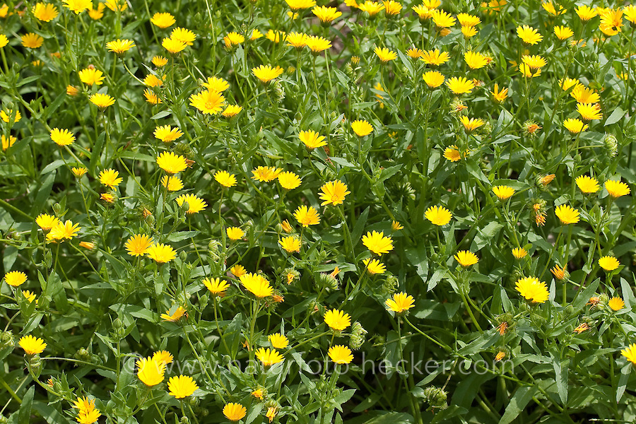 Acker-Ringelblume, Ackerringelblume, Ringelblume, Calendula arvensis, field marigold, field marygold