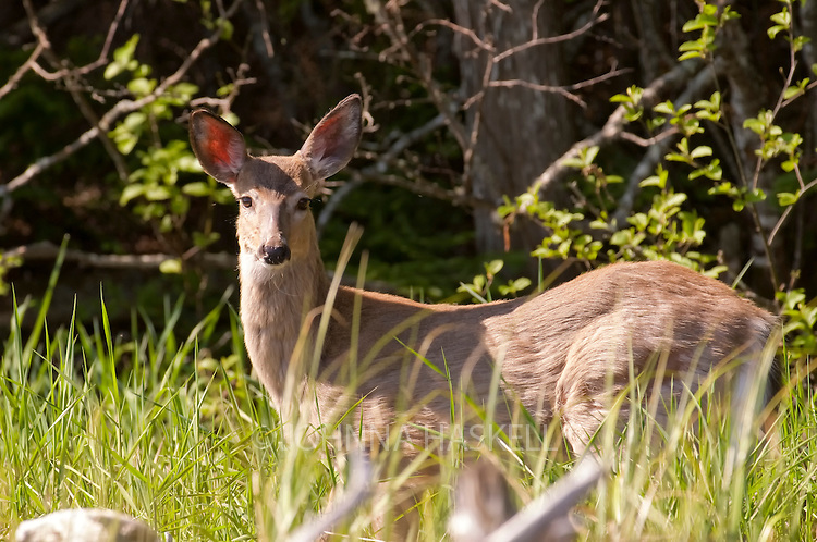 Maine white-tailed deer feeding on the grasslands near Flagstaff Lake in Maine.