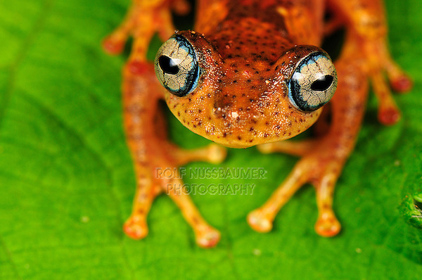 Tree Frog (Boophis tephraeomystax) (Boophis difficilis}, adult, Andasibe-Mantadia National Park, Madagascar
