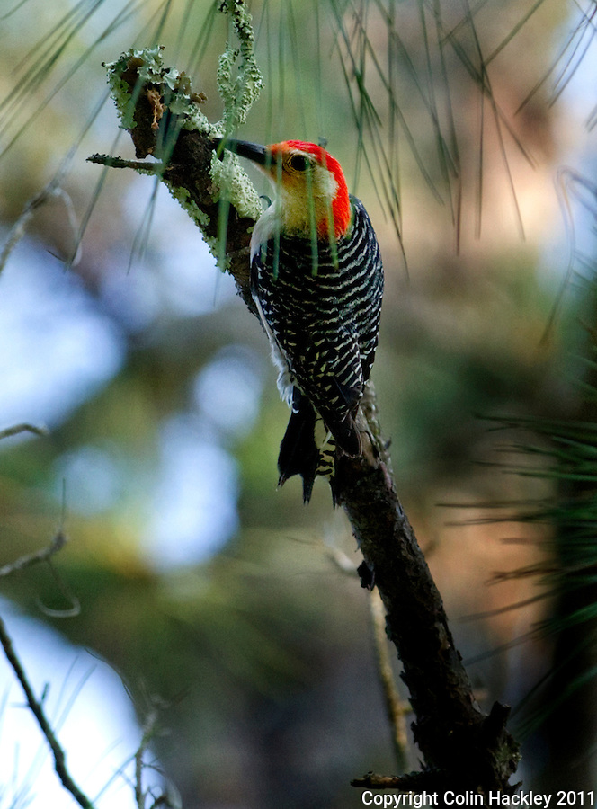 ELINOR KLAPP-PHIPPS PARK: A woodpecker forages for brunch...COLIN HACKLEY PHOTO