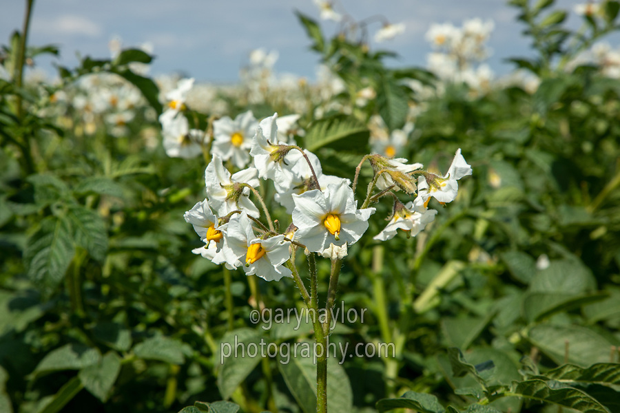 Potatoes in flower - Lincolnshire, July