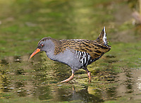 Water Rail Rallus aquaticus L 23-28cm. Secretive wetland bird. Distinctive call is heard far more frequently than bird is seen. In profile, note dumpy body, short tail and long bill. Seen head-on, body is laterally compressed. Sexes are similar. Adult has mainly blue-grey underparts, reddish brown upperparts, and black and white barring on flanks. Bill and legs are red. Juvenile is similar to adult but duller. Voice Utters a pig-like squeal and various choking calls. Status Favours reedbeds and marshes; migrants sometimes found on streams and watercress beds.