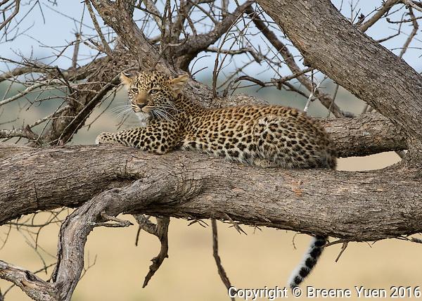 Leopard Up A Tree  Kenya 2015