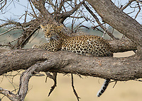 Leopard Up A Tree  Kenya 2015