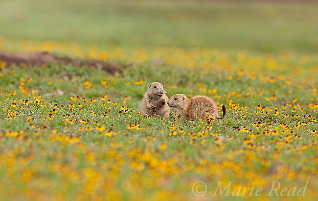 Black-tailed Prairie Dogs (Cynomys ludovicianus), two young animals amid a carpet of yellow Sneezeweed flowers, Wichita Mountains National Wildlife Refuge, Oklahoma, USA