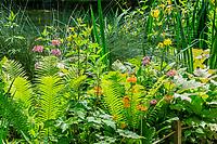 France, Indre-et-Loire (37), Amboise, Jardin et Château du Clos Lucé, le jardin de Léonard,  jardin autour du bassin alimenté par la rivière L'Amasse ou Lamasse, avec fougère d'Allemagne (Matteuccia struthiopteris), Primula x bulleesiana,  Rodgersia podophylla...