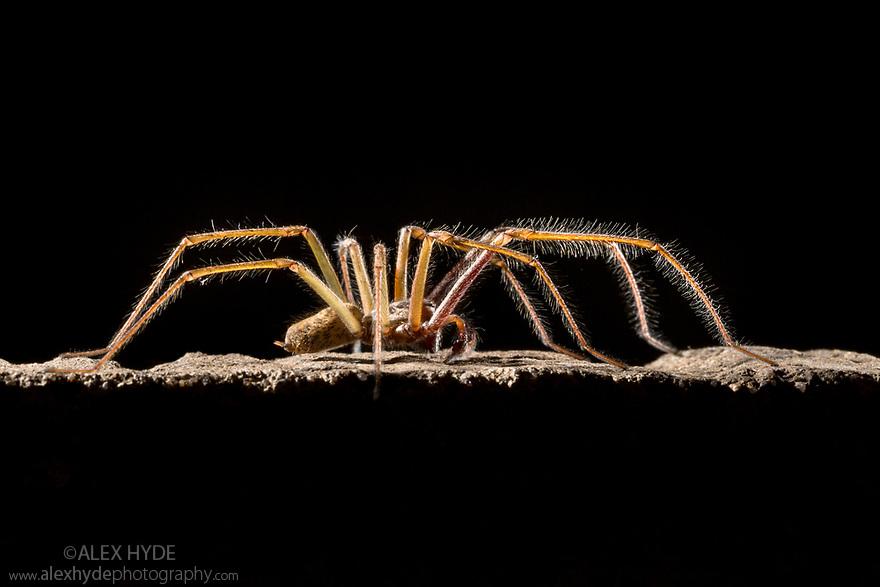 Male House Spider (Tegenaria sp.) walking. Derbyshire, UK. October.