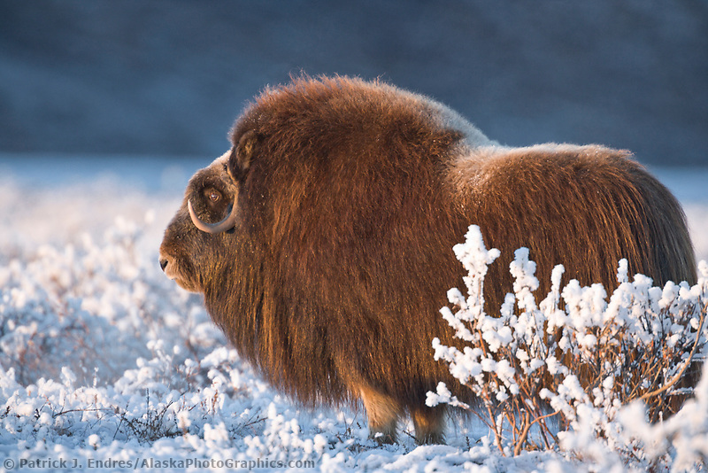 Bull Musk Ox on Alaska's arctic coastal plain.