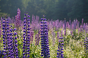 Lupine Festival in Sugar Hill, New Hampshire USA. The lupine festival is an annual event.