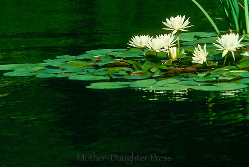Gardem pond creates engaging and peaceful environement with pleasing pattern of blooming water lillies, Nymphaea alba, Missouri USA