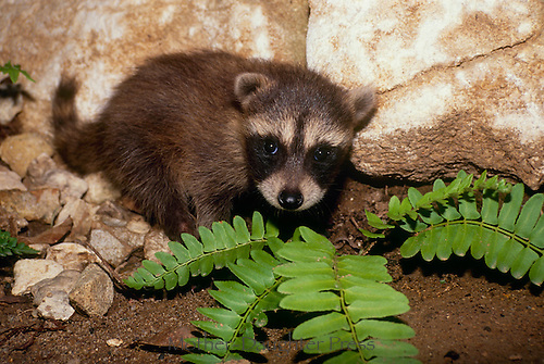 Baby raccoon, Procyon lotor, in rocks near fern, Missouri USA