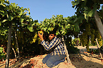 A Palestinian farmer collects grapes during harvest season at a vineyard in Gaza city on July 18, 2017. Photo by Ashraf Amra