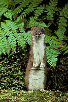 MA28-033z  Short-Tailed Weasel - ermine in forest in brown summer coat - Mustela erminea
