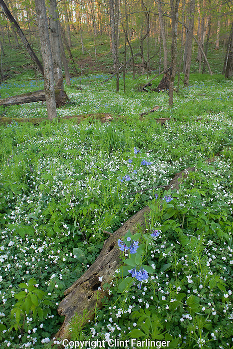 bluebells and anemone, Vernon Springs County Park, Howard County, Iowa