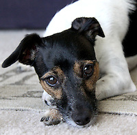 Jack Russell Terrier Dog Martha My Dear By Jonathan Green