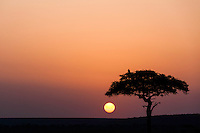 Vulture in a tree silhouetted against an orange bushveld sunset in the Masai Mara Reserve, Kenya, Africa (photo by Wildlife Photographer Matt Considine)
