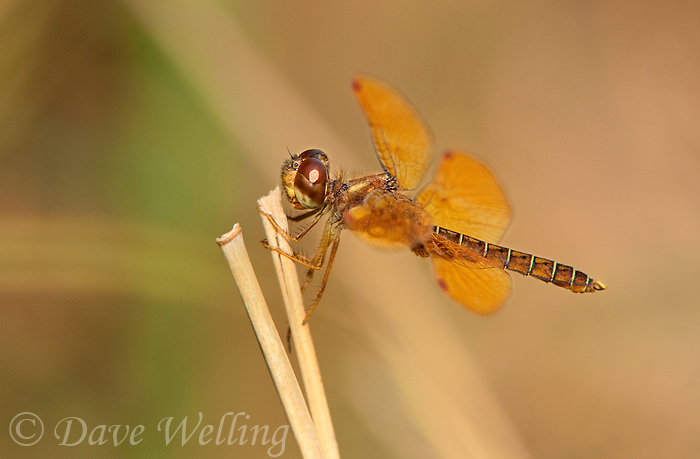 304560008 a wild male eastern amberwing dragonfly perithemis tenera perches on a dead grass stem at santa ana national wildlife refuge rio grande valley texas united states