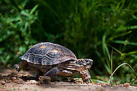 481150030 a wild texas tortoise gopherus berlandieri crawls through thick underbrush near a waterhole in the rio grande valley of south texas