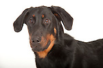 Beauceron Dog - Male, Head Study, Studio, White Background