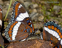 "0704-0802  White Admiral Butterfly ""Drinking Moisture from Animal Feces"", Limenitis arthemis ""Northeast United States Form""  © David Kuhn/Dwight Kuhn Photography"